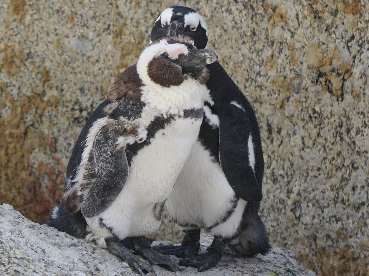 Pinguins sud africains