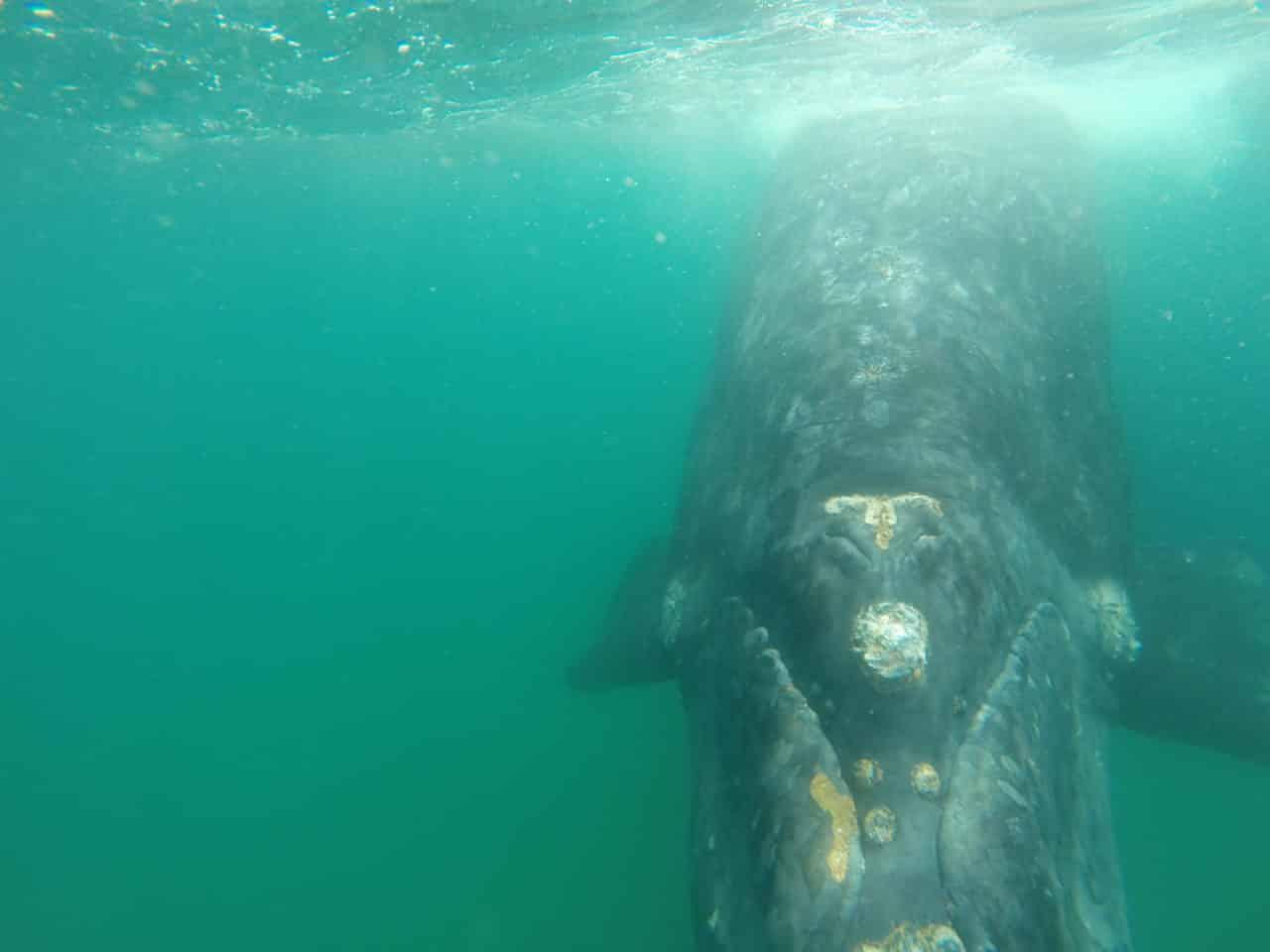 Rencontre avec une baleine franche